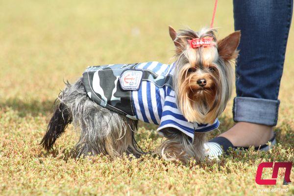 Победитель конкурса «Собачья мода» — Феликс-Филимон.